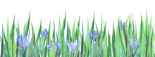 Botanical Bottom Border Template. Thick Green Grass With Tender Blue Flowers Hidden Among Long Stems. Spring Hand Drawn Illustration Of Crocuses On White Background. First Spring Blossoms