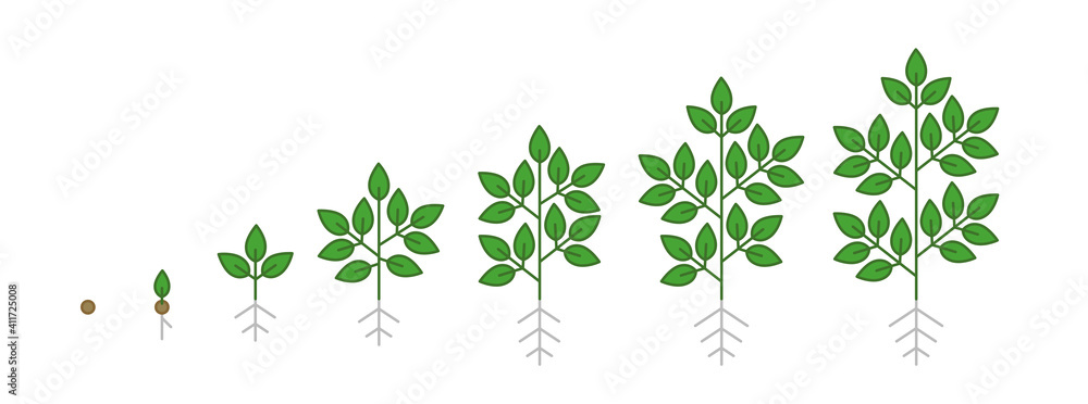Fototapeta Plant growth stages. Growing period steps. Harvest animation progression. Fertilization phase. Cycle of life. Vector infographic set.