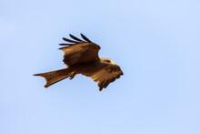 Bird Of Prey Black Kite Flying Against Sky, Milvus Migrans, Ethiopia Safari Wildlife
