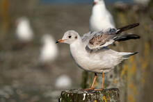 .juvenile Seagull Perching On A Wooden Pole