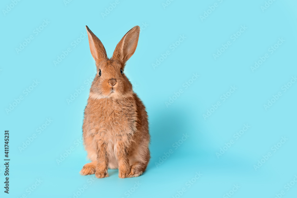 Fototapeta Cute fluffy rabbit on color background