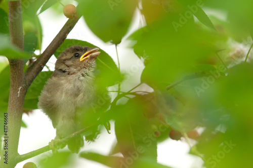 Young House Sparrow (Passer domesticus) sitting in a bush in Frankfurt, Germany. © DirkR