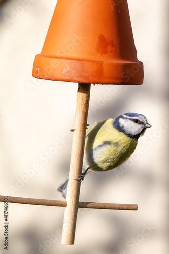 Blue Tit (Parus caeruleus) sitting on a self-made bird feeder in the garden. © DirkR