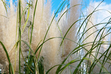 Cortaderia Selloana, Pampas Grass Large Fluffy Spikelets Of White And Silver-white Color Against The Sky