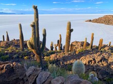 Cacti Island. Marvelous Terrain Is Covered In Native Species Of Cactus Surrounded By Salt Flat. These Giant Cacti Are Hundreds Of Years Old And Grow At Rate Of One Centimeter Per Year.