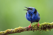 Beautifully Blue Small Bird, Red-legged Honeycreeper, Cyanerpes Cyaneus. Such A Tiny Bird, Yet So Amazing And Gorgeous. Very Common In Central America. Sitting On A Mossy Branch, Green Background.