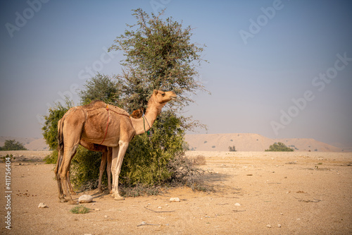 Photo xterior View of Camel herd moving in Barren land Drought in  Desert