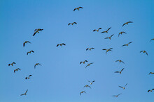 Wading Lapwing Of The Cultivated Fields Of Europe