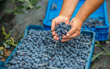 A Farmer Harvesting Fresh, Bio Blueberries At The Agricultural Farm, Food Concept