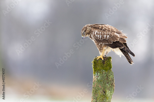 Stampa su Tela Common buzzard buteo buteo raptor perching on a wooden mossy pole in winter land
