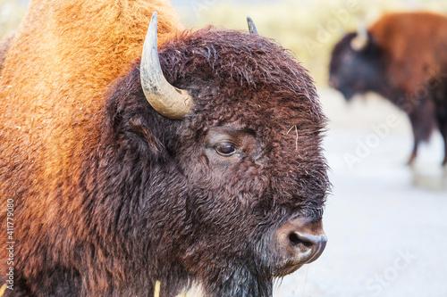 Fototapety, obrazy: Buffalo