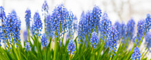Blue Flowers Grape Hyacinth Banner, Close-up