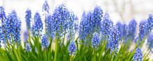 Blue Flowers Grape Hyacinth Banner, Close-up