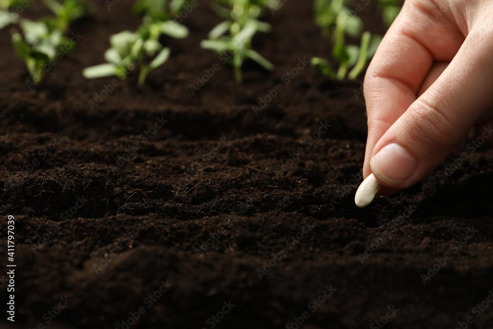 Fototapeta Woman planting beans into fertile soil, closeup. Vegetable seeds
