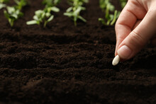 Woman Planting Beans Into Fertile Soil, Closeup. Vegetable Seeds