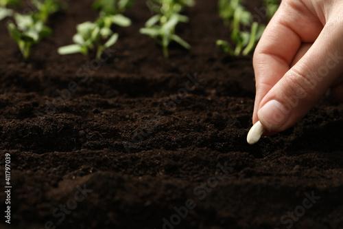 Woman planting beans into fertile soil, closeup. Vegetable seeds © New Africa