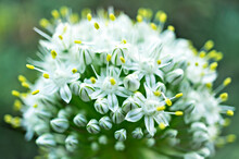 White Wild Allium Flowers With Yellow Stamens Close Up With Selective Focus On Green Blurred Backgroung. Spring Blossom, Floral, Botany