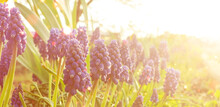 Grape Hyacinth Muscari Armeniacum Flowering In Early Spring. Macro Of Blue Muscari Flower Meadow. Many Muscari Blue Grape Hyacinth Flowers In Green Garden. Spring Muscari Grape Hyacinth Flowers Banner