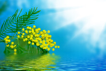 Bright Colorful Spring Flowers Mimosa