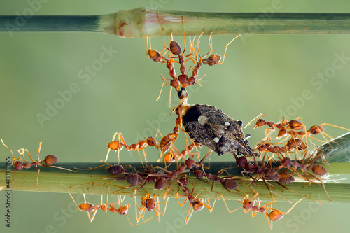 Photo Red ants colony at work