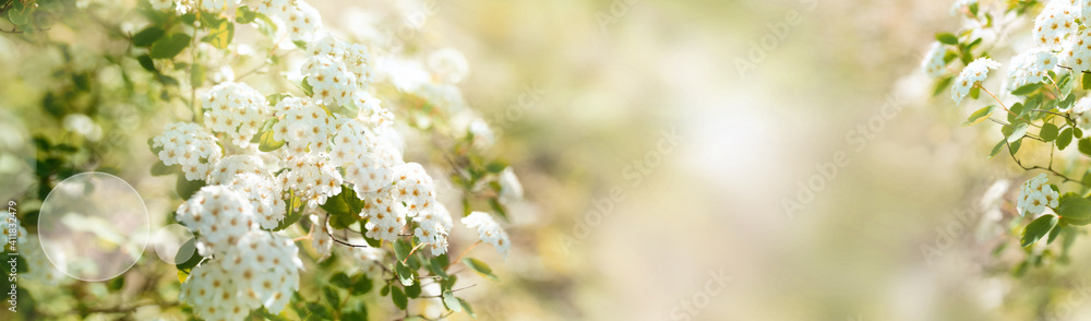 Fototapeta White blooming spirea shrub in sunny spring. Seasonal background mit hellem bokeh and and short depth of field. Space for text.