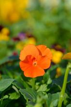 Orange Horned Violet