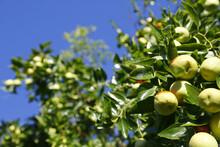 L'albero Del Giuggiolo, Iziphus Jujube, Carico Di Frutti Maturi E Sullo Il Cielo Azzurro
