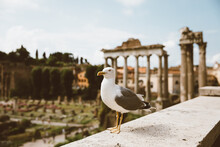 Mediterranean Gull Seating On Stones Of Roman Forum In Rome, Italy
