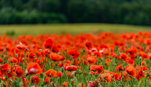 Beautiful Wild Red Poppies In The Countryside In Latvia.