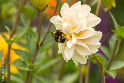 Canvas Print Bumble-bee on a white flower. Green background.