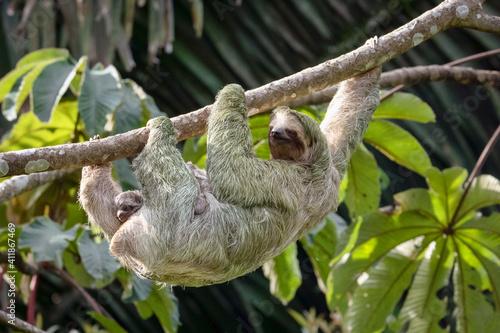Paresseux à gorge brune (Bradypus variegatus) femelle accrochée à une branche et portant un petit sur son ventre, Panama © brimeux
