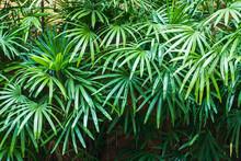 Bush Lady Palm In The Garden.