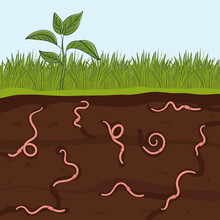 Pink Earthworms In Garden Soil. Ground Cutaway With Worms. Farming And Agriculture