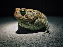 Close-up Of Toad In Spotlight