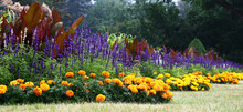 On A Lawn The Long Flower Bed Of A Twisting Form Is Made. A Border Orange Tagetes Grow And Blossom. The Salvia Blossoms In Violet Flowers. Beautiful Leaves In Claret Tones Canna Are Visible.