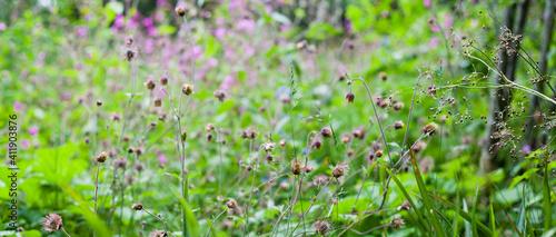 Water Avens -  Geum Rivale - beautiful wild flowers in the wildlife natural meadow garden Wallpaper Mural
