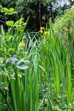 Bog Garden With Beautiful Water Iris Flowers - Blooming In Yellowe Plants Which Love Waterlogged Conditions.
