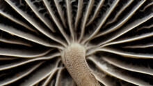 Mushroom Cap Texture, Mycetinis Scorodonius, Extreme Approximation, Macro Photography Of Mushrooms In The Forest