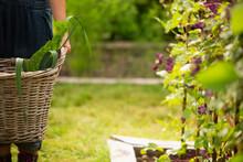 Woman Holding Basket Of Harvested Vegetables In Summer Garden