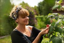 Woman Inspecting Raspberries Growing On Plant In Summer Garden
