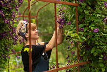 Woman Pruning Purple Clematis Flowers Growing On Trellis In Garden