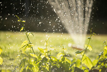 Sprinkler Watering Lush Green Plants In Sunny Summer Garden