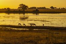 Springboks Drinking Water In Chobe National Park Of Botswana