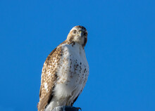 Red-tailed Hawk On A Perch