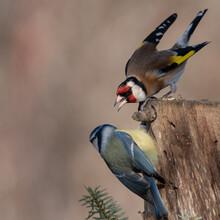 Wild Goldfinch, Carduelis Carduelis On The Bird Feeder