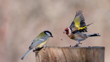 Goldfinch, Carduelis Carduelis On The Bird Feeder