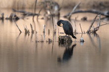 Great Cormorant (Phalacrocorax Carbo) Sitting On A Stump, Great Cormorant Reflection In Water