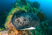 Huge Marble Ray (Taeniura Meyeni)) On A Colorful Coral Reef In The Andaman Sea
