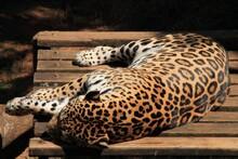 Jaguar Sleeping In A Zoo