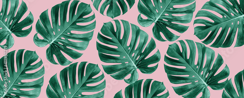 Fotografie, Tablou Top view of Monstera leaves on pink background, Summer nature fashion concept